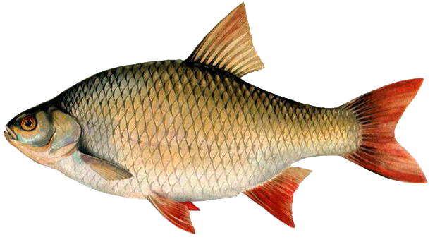 Kiad nyaral r ckeve v r ssz rny keszeg horg szata for Gartenteichfische arten